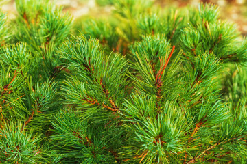 Needles of bush Japanese Stone Pine Pinus Pumila. Natural medicinal plant used in traditional and folk medicine. Christmas mood. Close-up view of colorful natural floral background.