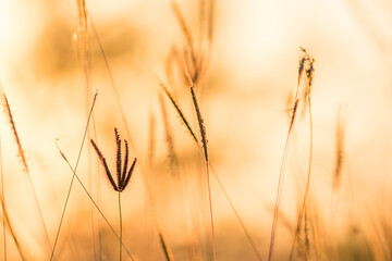 close up grass flower on sunset background