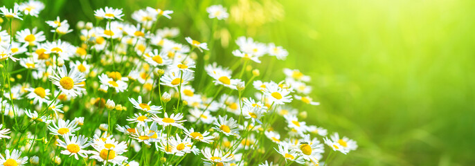 Chamomile flowers (Matricaria recutita), blooming plants in the spring meadow on a sunny day, closeup with space for text