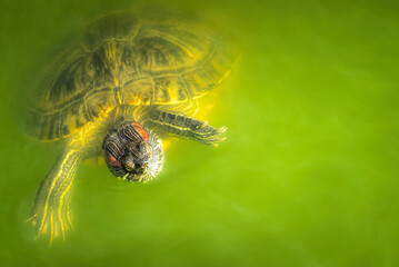 Wild turtle and polluted green water