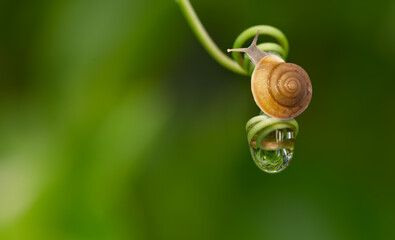 Garden snail in nature with water drop on swirl green leaf.