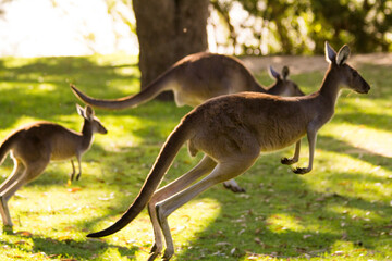 Group of beautiful kangaroos running and jumping on grass field Perth, Western Australia, Australia