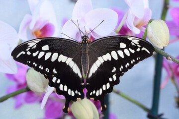Tropical colorful butterfly resting on orchid flowers