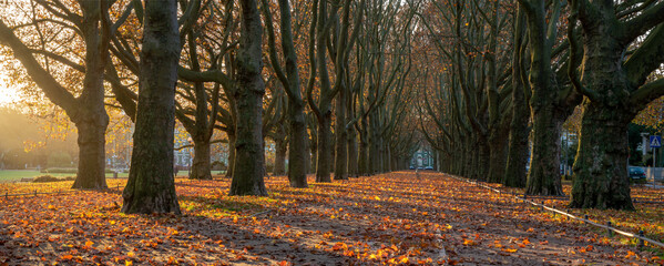 Beautiful avenue of plane trees in an autumn park at sunrise