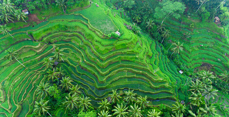 Drone view of rice plantation in bali and palms tree. Rice terraces photos from the height, bali, indonesia, ubud, the geometry of the rice field