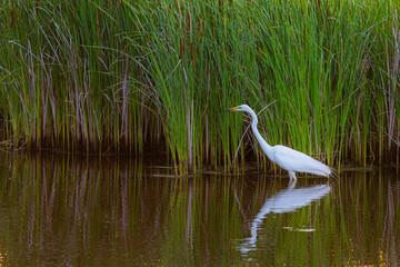White heron on a lake