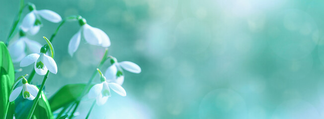 Galanthus nivalis or common snowdrop - blooming white flowers in early spring in the forest, closeup with space for text
