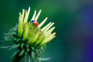 Ladybug On Coneflower