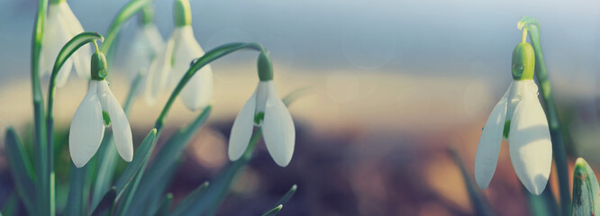 White snowdrops flower in sunny garden . Easter background.