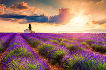 Small house with cypress tree in lavender fields at sunrise near Valensole, Provence, France. Beautiful summer landscape.