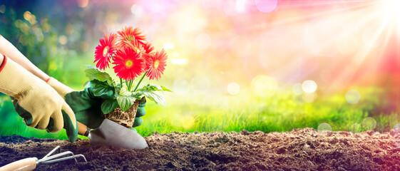 Planting A Red Daisy In Garden - Gardening Concept