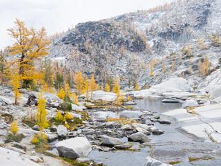 USA, Washington State. Alpine Lakes Wilderness, Enchantment Lakes, Golden Larch trees at Magic Meadow