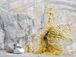 USA, Washington State. Alpine Lakes Wilderness, Enchantment Lakes, Larch trees and rock