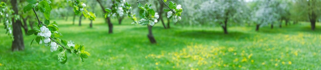 blooming apple trees in spring. panoramic landscape photo of apple orchard
