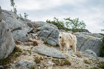 Mountain Goat of the Enchantments