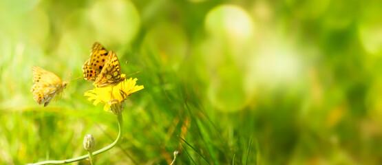 schmetterlinge auf der sommerwiese, fokus auf löwenzahn blüte