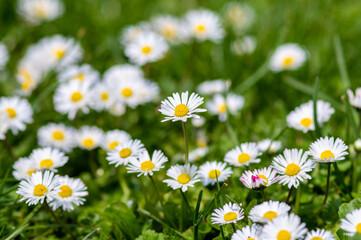 wiosenna łąka kwiatowa naturalna