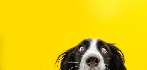 Close-up border collie dog head looking. Isolated on yellow background.