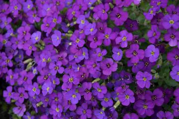 Żagwin aubrietta kwiaty w ogrodzie
