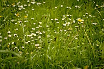 Wiosenna biało, żółto, zielona wysoka, kwiecista łąka, pełna zieleni. Pełna kwiatów mlecza.