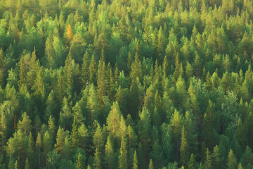 texture coniferous forest top view / landscape green forest, taiga peaks of fir trees