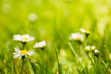 little white daisies on a green meadow