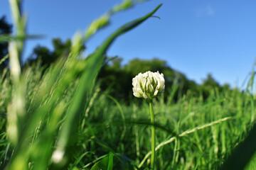 Kwiat koniczyny 2