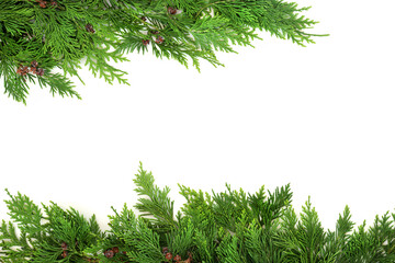 Cedar cypress leaf natural background border on white. Eco friendly composition. Flat lay, top view, copy space.