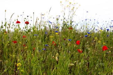 łąka, kwiaty polne, mak, maki, rzepak, krajobraz łąki, lato , wiosna, przyroda, zieleń,