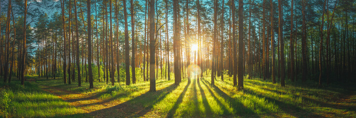 Sunset Sunrise Sun Sunshine In Sunny Summer Coniferous Forest. Sunlight Sunbeams Through Woods In Forest Landscape. Panorama Panoramic View