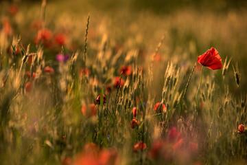maki na łące pośród zbóż, trawy i innych kwiatów polnych