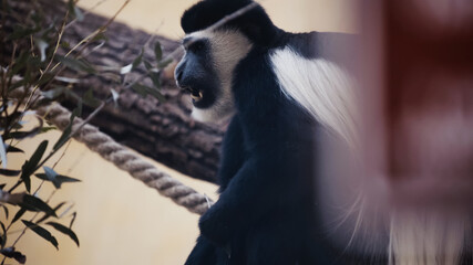 black and white monkey with open mouth in zoo.