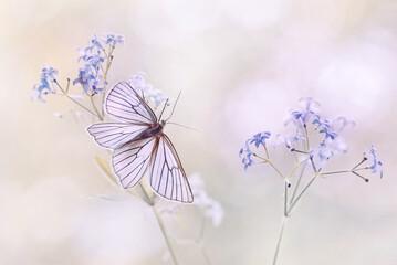 Motyl Dyblik liniaczek (Siona lineata) na stokrotce