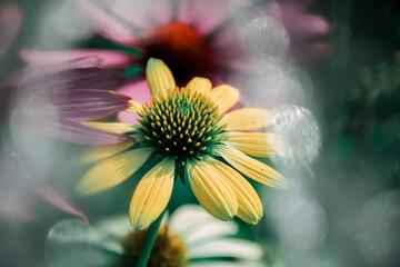 Kwiaty letnie - jeżówka żółta