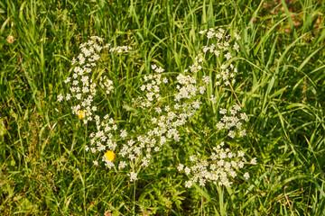 summer meadow, white wildflowers