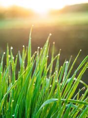 rosa na trawie, zieleń i promienie słońca