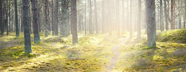 A pathway through the coniferous forest, old pine trees close-up, moss on the ground. Sun rays through the tree trunks. Early spring. Latvia