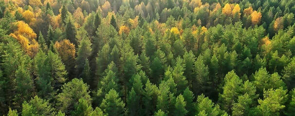 autumn forest taiga view from drone, yellow trees landscape nature fall
