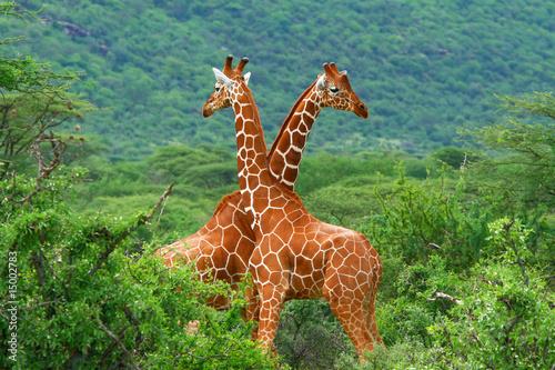 Walka dwóch żyraf