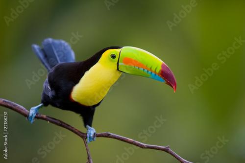 Keel Billed Toucan, z Ameryki Środkowej.