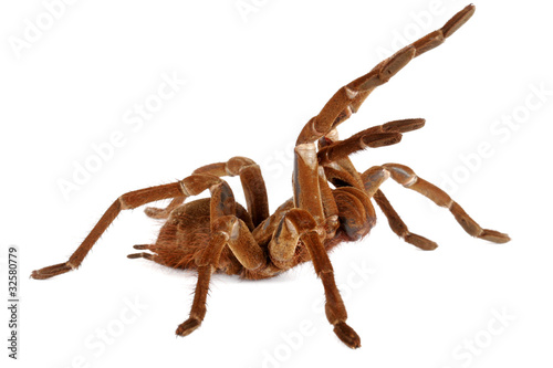 Goliath Birdeater Tarantula (Theraphosa blondi)