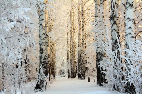 brzozy zimą w świetle poranka