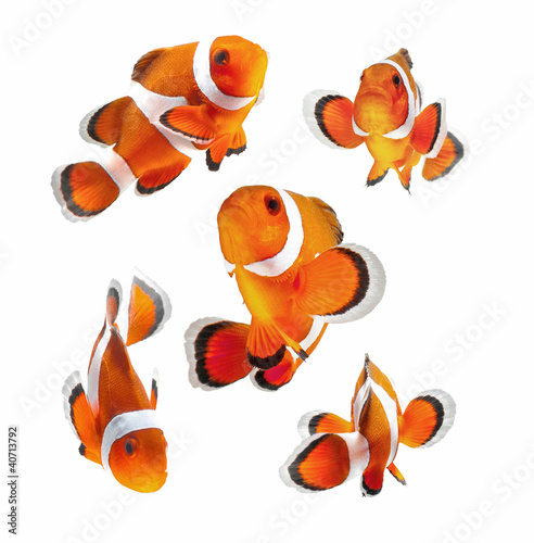 Klaun ryb lub Anemonowa ryba na białym tle