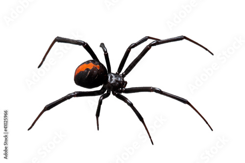 Pająk, Redback lub Black Widow, na białym tle