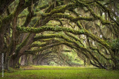 Oaks Avenue Charleston SC plantacja Live Oak trees forest