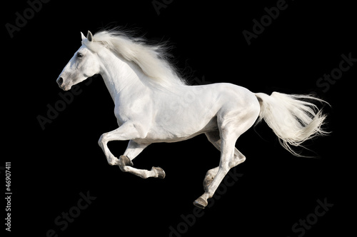 White horse runs gallop isolated on the black