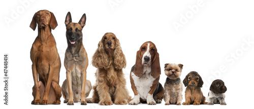 Grupa brązowych psów siedzących, od wyższych do mniejszych