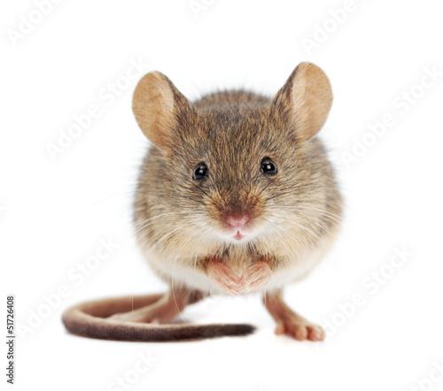 Mysz domowa stojąca (Mus musculus)