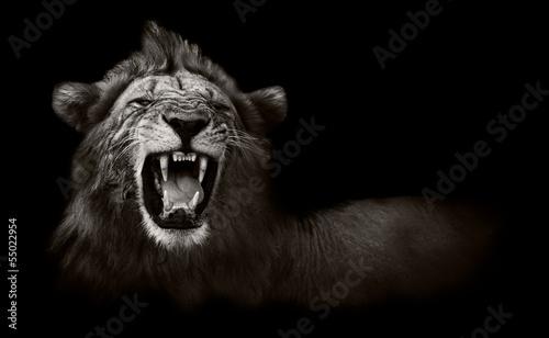 Lew wykazujący niebezpieczne zęby