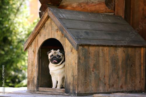 Zabawny mops pies w domu psa